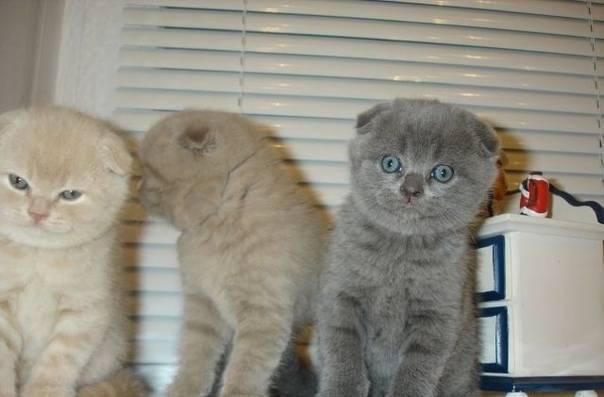 Как выбрать шотландского вислоухого котёнка?