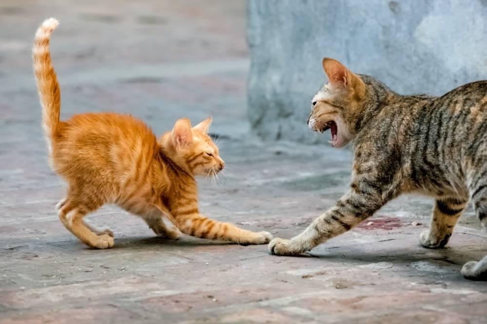 Шипящая кошка (17 фото): причины шипения кота на определенного человека. что делать, если кошка бросается на своего хозяина и других людей?