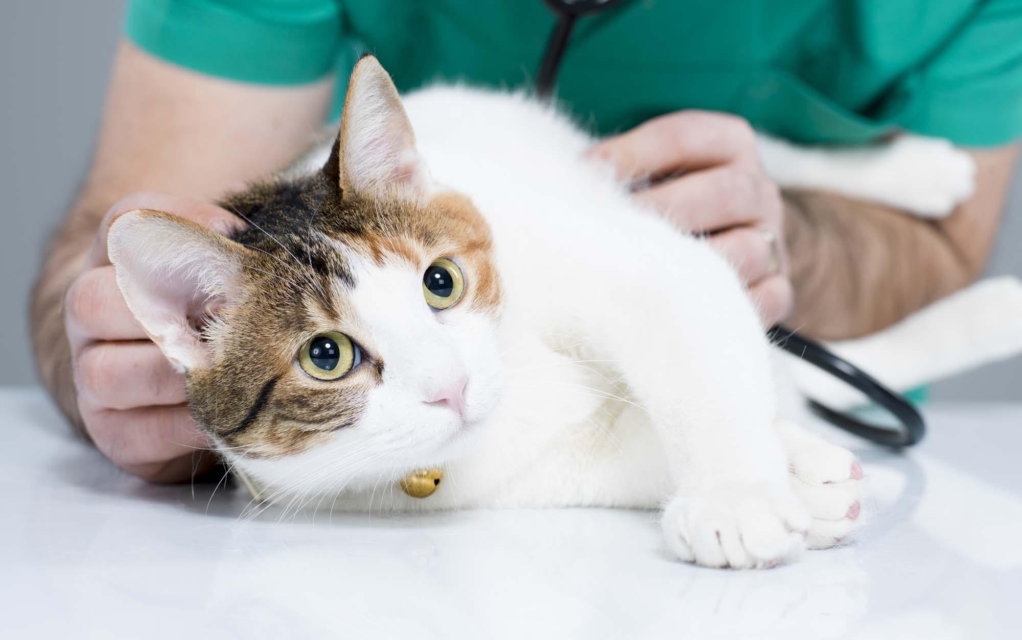Простуда у кошек: симптомы и лечение в домашних условиях, что делать если чихает?