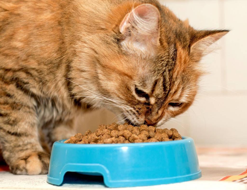 Как отучить кошку от сухого корма, что делать, если животное ест только его: эффективные способы и полезные советы, а также ошибки хозяев