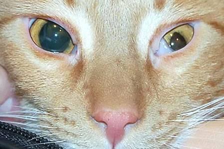 Что делать если у кошки аденома третьего века: эффективность лечения и профилактика заболевания