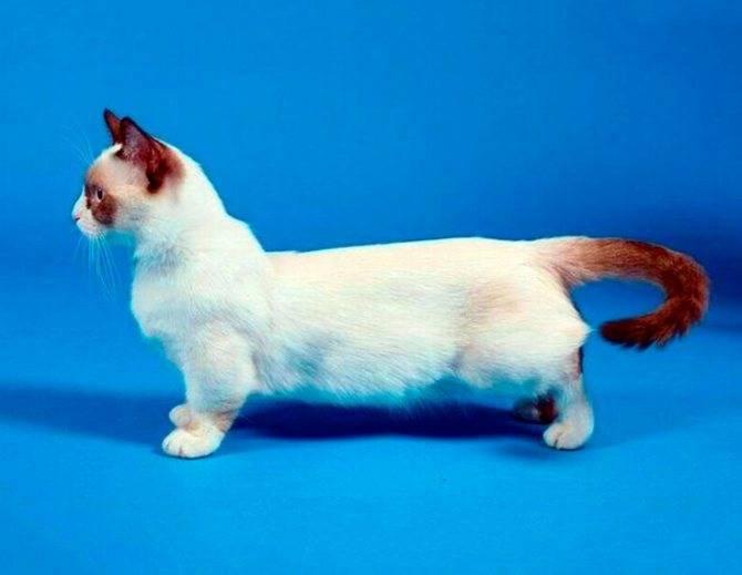 Кошка с короткими лапами манчкин, описание, характеристики, фото