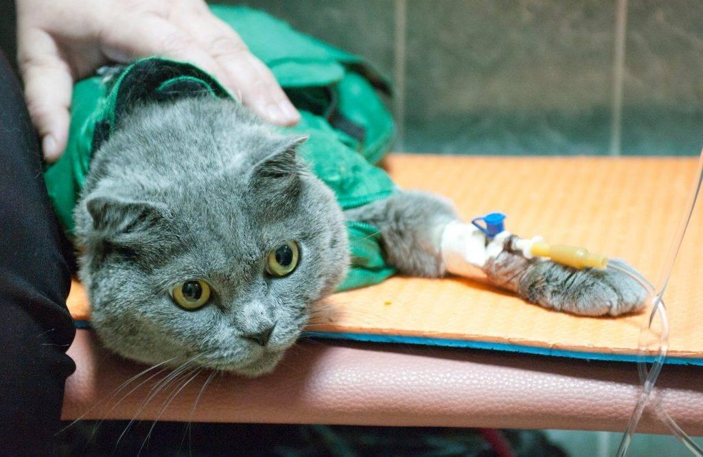 Ставим капельницу коту в домашних условиях: как не навредить?