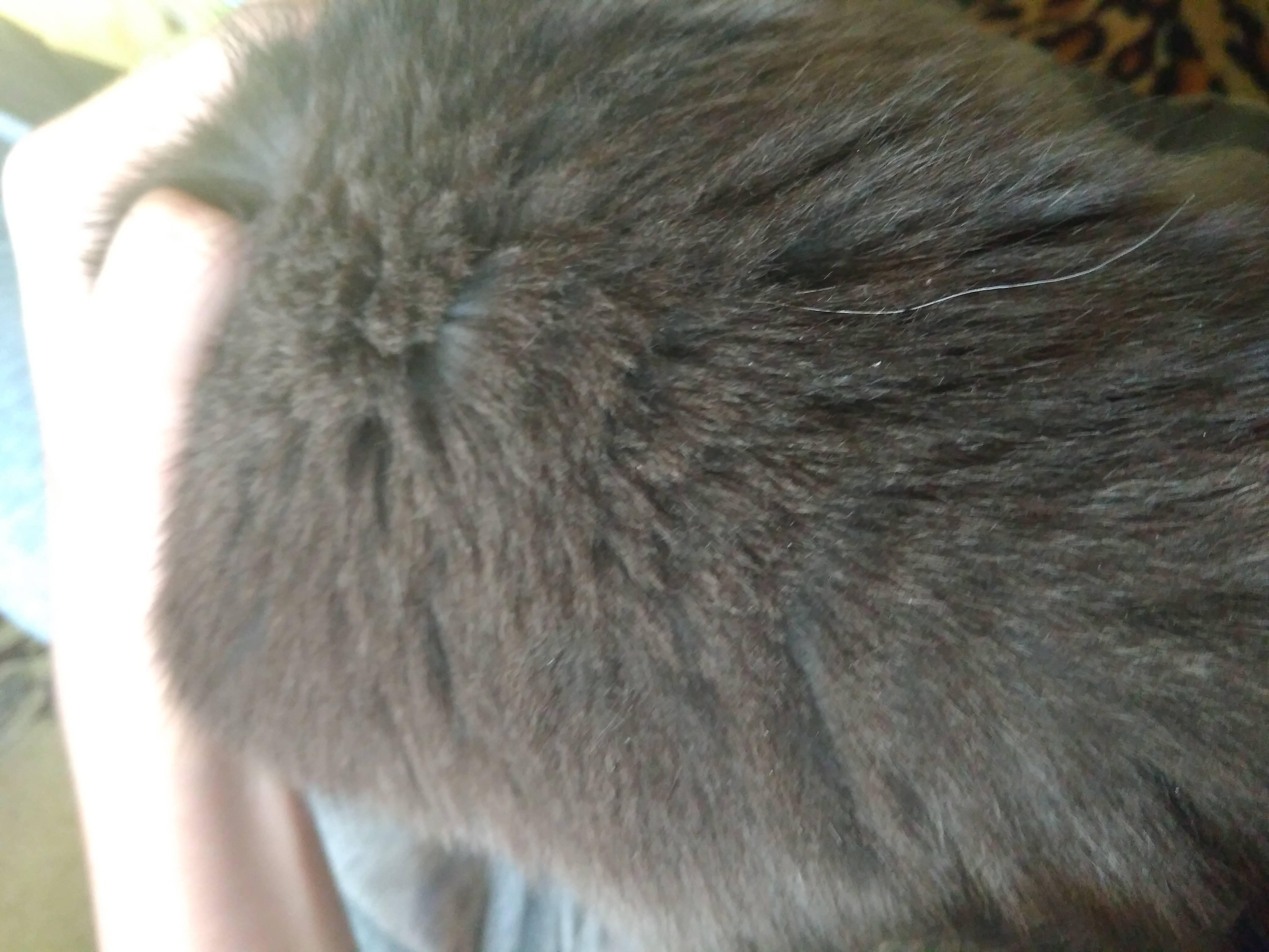 У кошки перхоть на спине у хвоста — причины возникновения и методы лечения патологии
