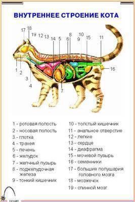 Патологии сердца у кошек (кардиомиопатия)