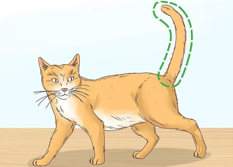 Остеохондродисплазия шотландских вислоухих кошек: причины, симптомы, лечение
