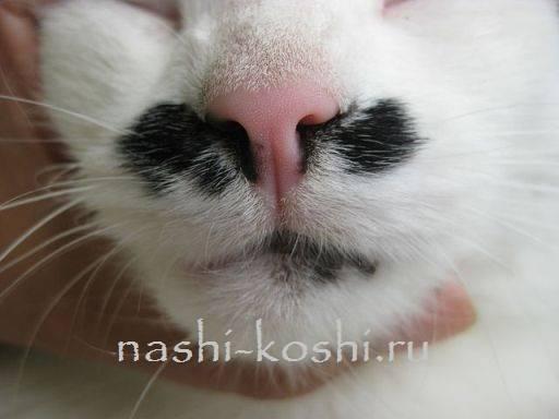Сухой и теплый нос у кошки – норма или патология?