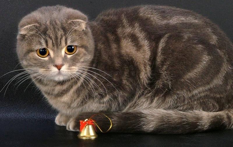 Топ 10 самых маленьких пород кошек в мире - названия, фотографии и описание