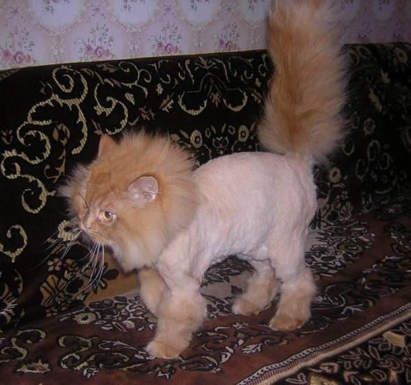 Кошка стриженная под льва
