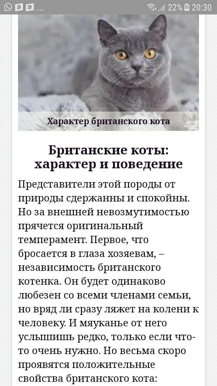 Характер британской кошки: холодный аристократ или плюшевый друг?   рутвет - найдёт ответ!