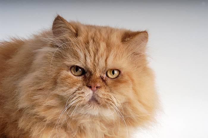 Персидская кошка - популярная длинношёрстных порода. топ-100 фото, видео, отзывы, содержание и все особенности кошки