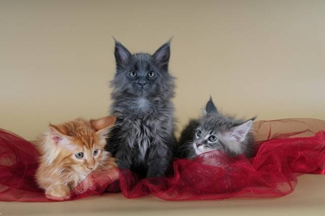 Купание кошек породы мейн-кун