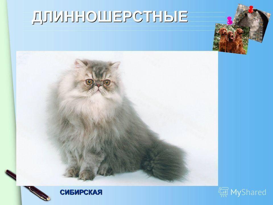 Полудлинношерстные кошки | все породы среднешерстных котов с фото и названиями