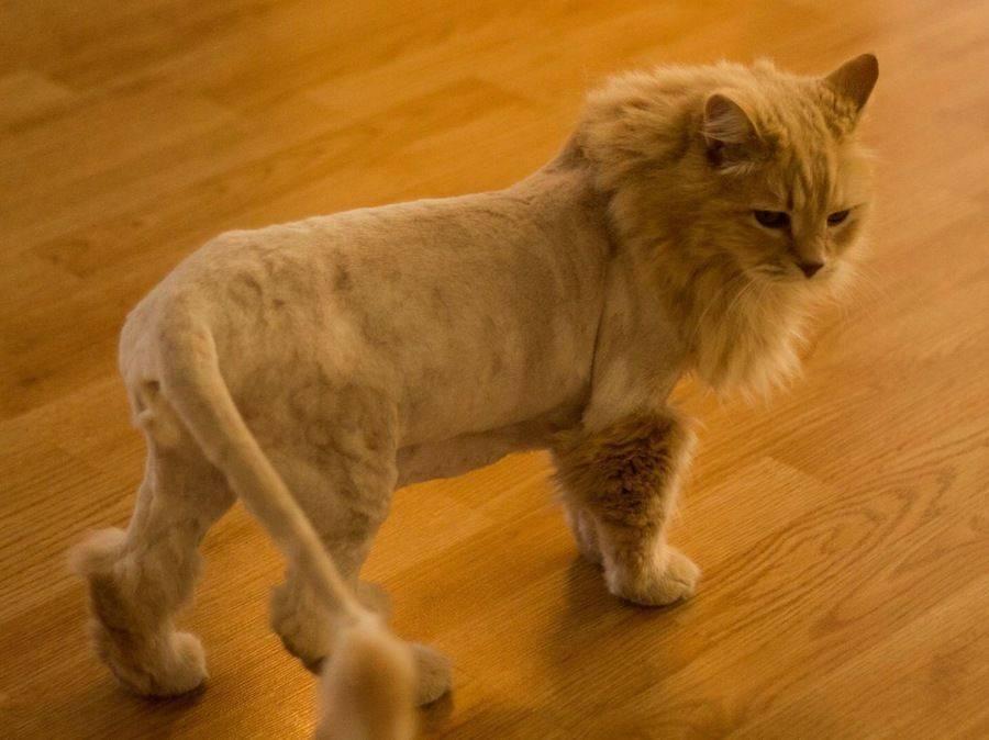 Стрижка котов фото до и после: излагаем детально