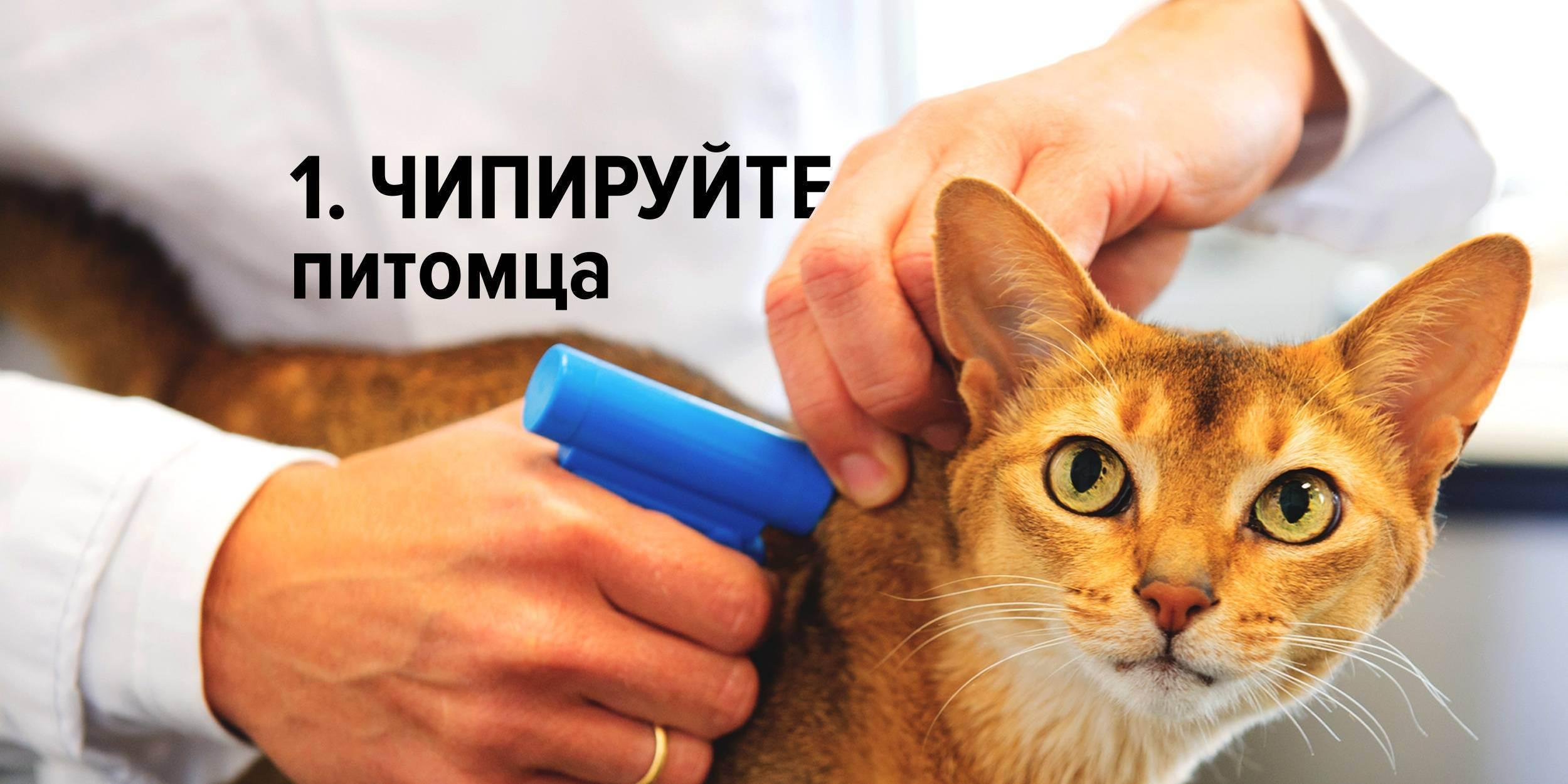 Проблемные породистые кошки и как с ними жить. методичка для начинающих хозяев - новости - 66.ru