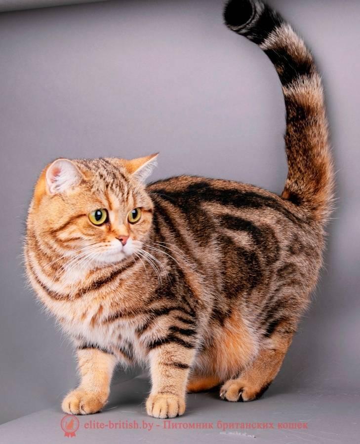 Породы кошек и котов тигрового окраса и их содержание
