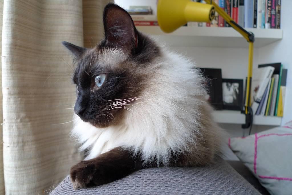 Балинезийская кошка — описание кошки как она выглядит, ее характер и секреты по уходу (125 фото)