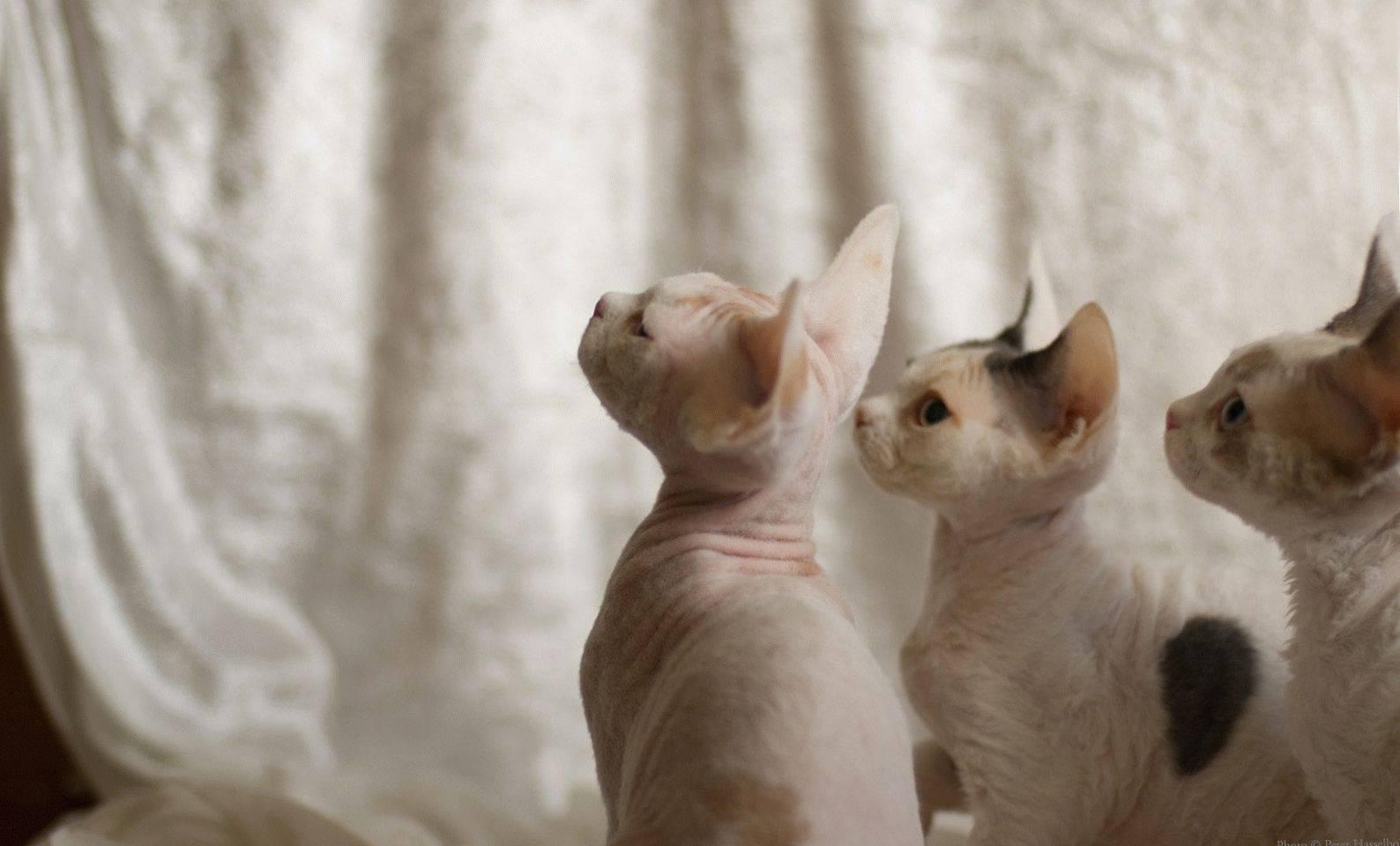 Кошки девон-рекс: описание породы, истоитли заводить персонажа фантастических романов всвоей квартире