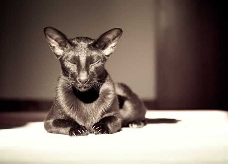 Как выглядят и как себя ведут ориентальные породы кошек?
