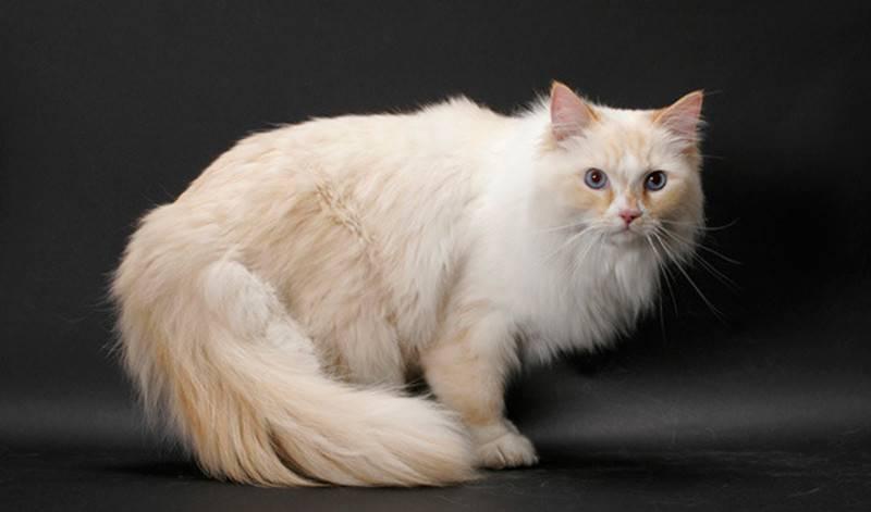 Топ-10 пород котов-долгожителей в мире