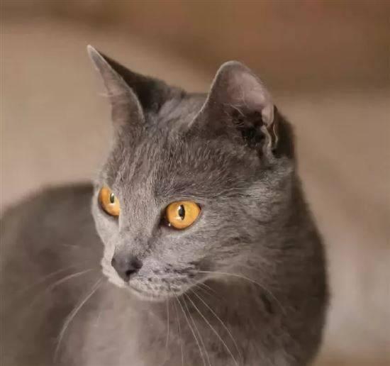Вислоухий кот серого окраса (19 фото): особенности окраса и породы. с какими глазами обычно рождаются котята этого цвета?