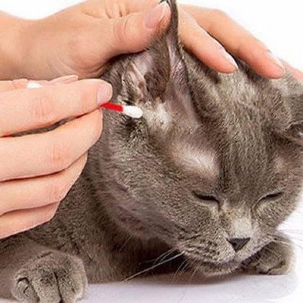 Кот чешет уши и трясет головой: что делать