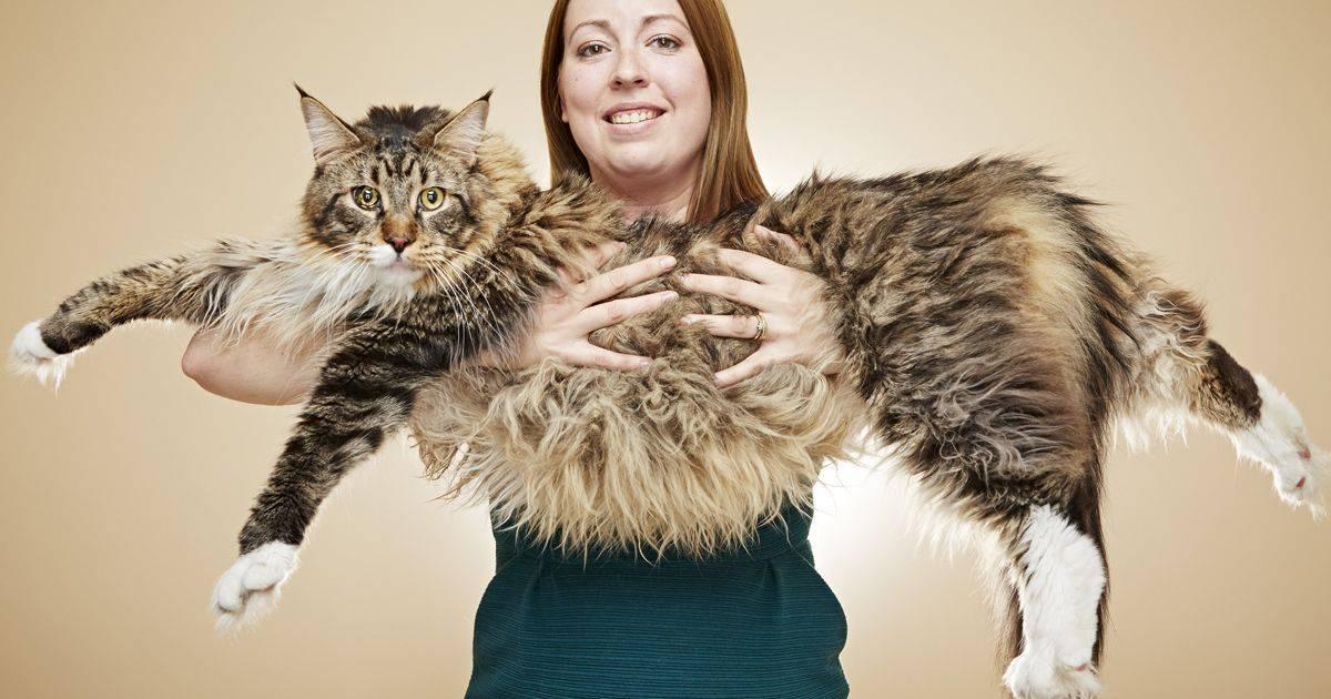 Сколько весит самый толстый кот в мире? топ самых больших котов в мире