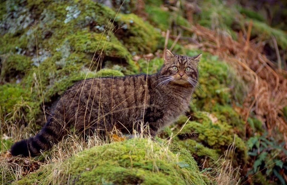 Китайская кошка (31 фото): как выглядит? какие породы существуют? особенности породы ли хуа и других. нюансы их содержания