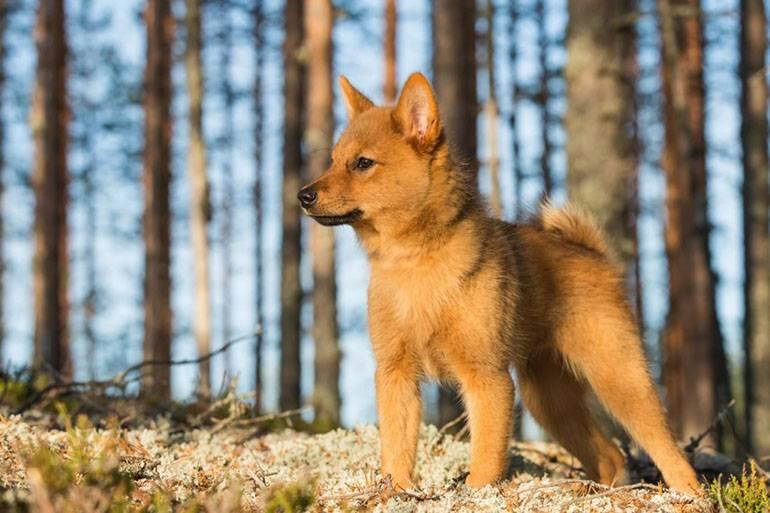 Карело-финская лайка: фото собаки, описание породы и отзывы