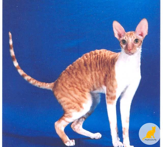 Манчкин – кошка, похожая на таксу