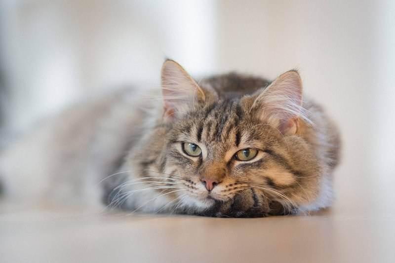 Как вывести кошачью мочу с ковра? народные и покупные средства, способы