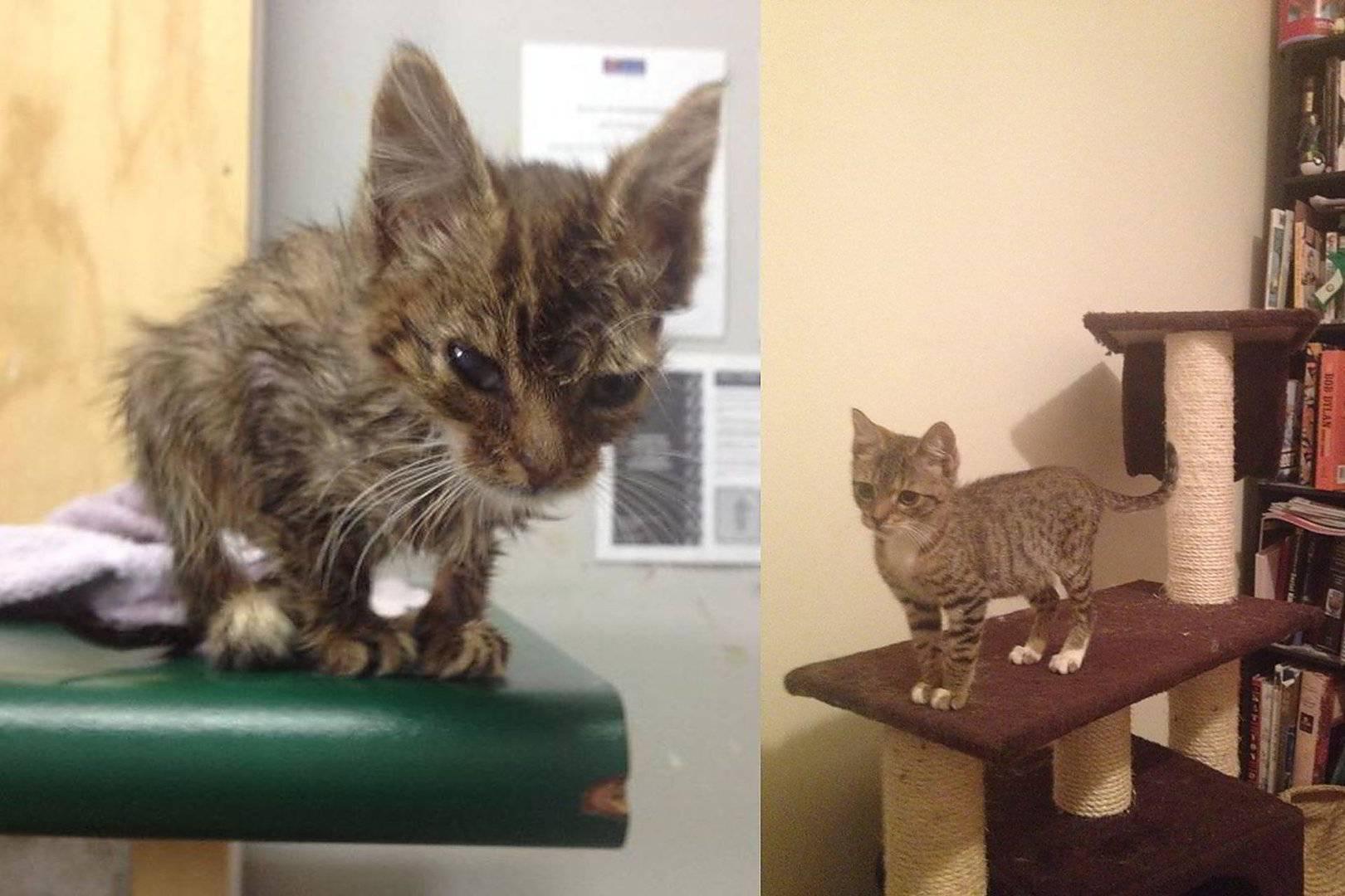 Коронавирусный энтерит у кошек, парвовирус: причины, симптомы, лечение в домашних условиях