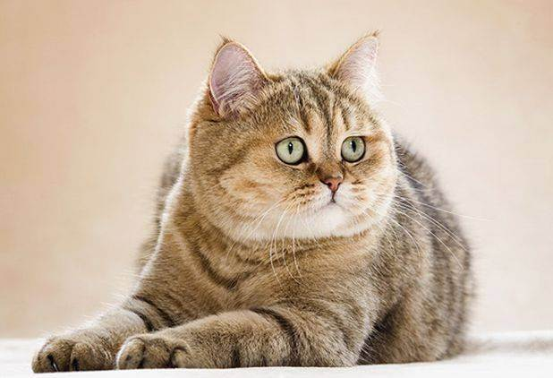 Британская лиловая кошка (16 фото): описание характера котов лилового окраса, список кличек для котят лиловой британской породы