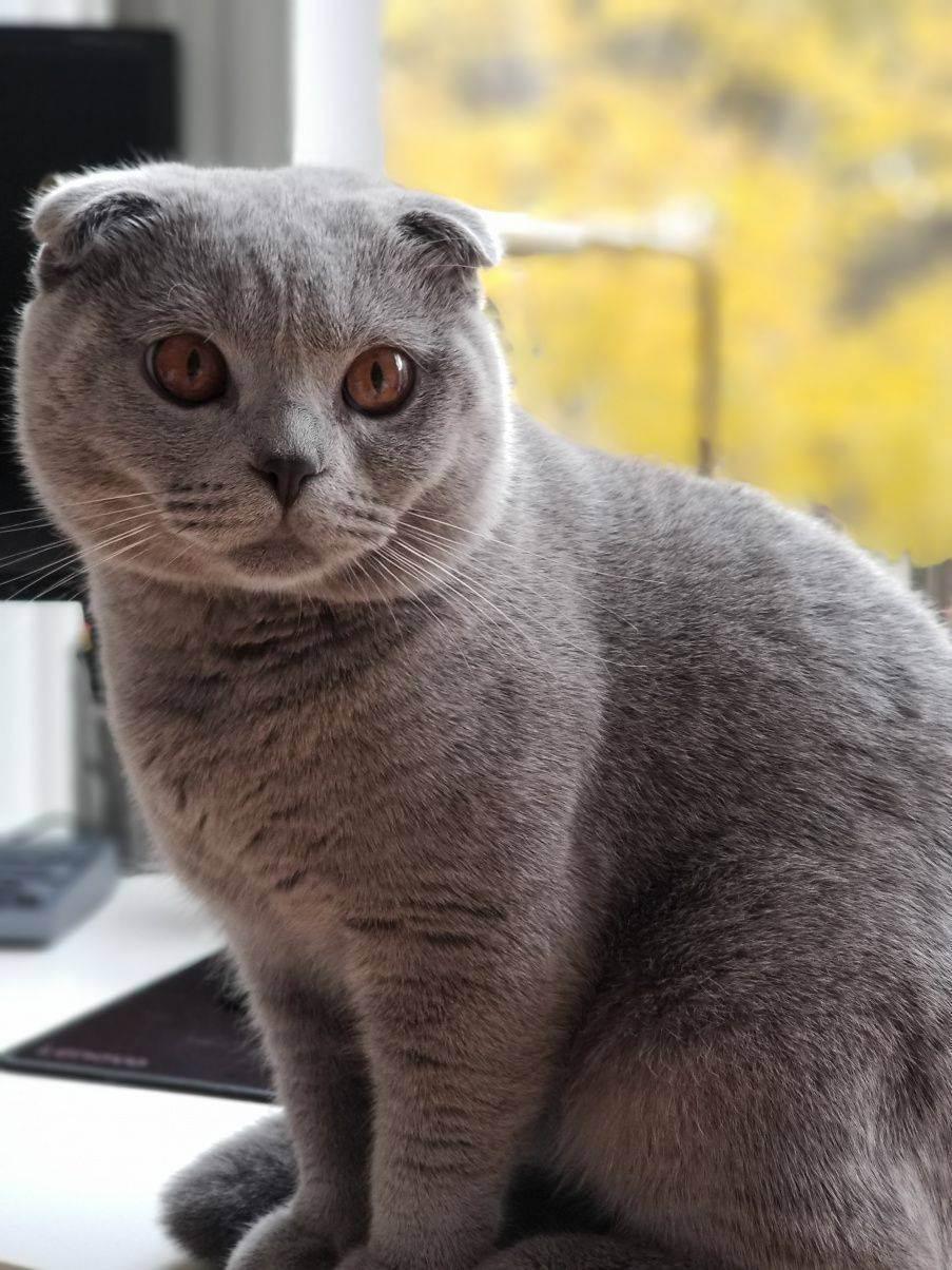 Беременность шотландских кошек