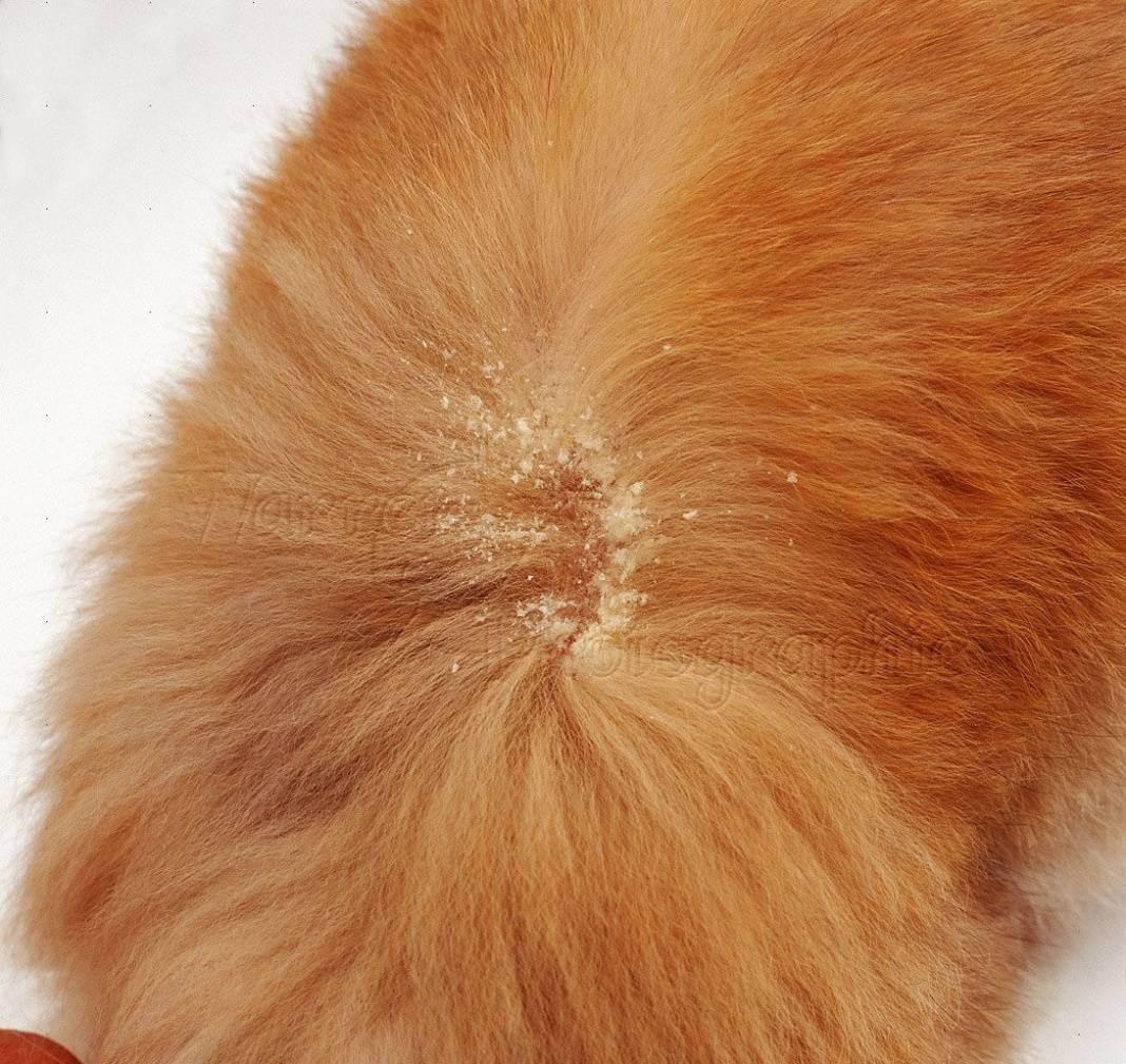 Перхоть у кошки, в том числе на спине около хвоста: причины появления, диагностика, нужно ли лечение, профилактика себореи, отзывы