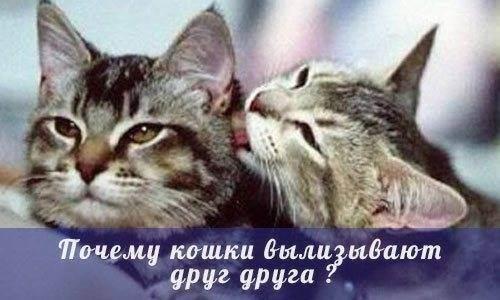 Кошка лижет руки, лицо, ноги хозяина: почему животное вылизывает человека?