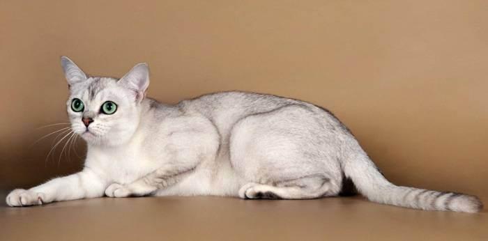 Кошка бурмилла: описание породы и характера