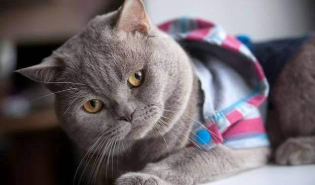 Сколько живут кастрированные британские коты
