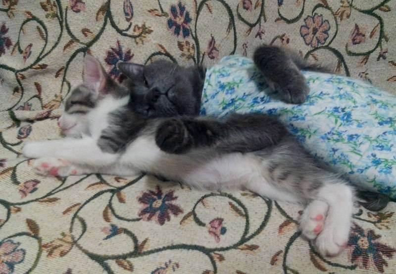 Осложнения при родах у кошек.