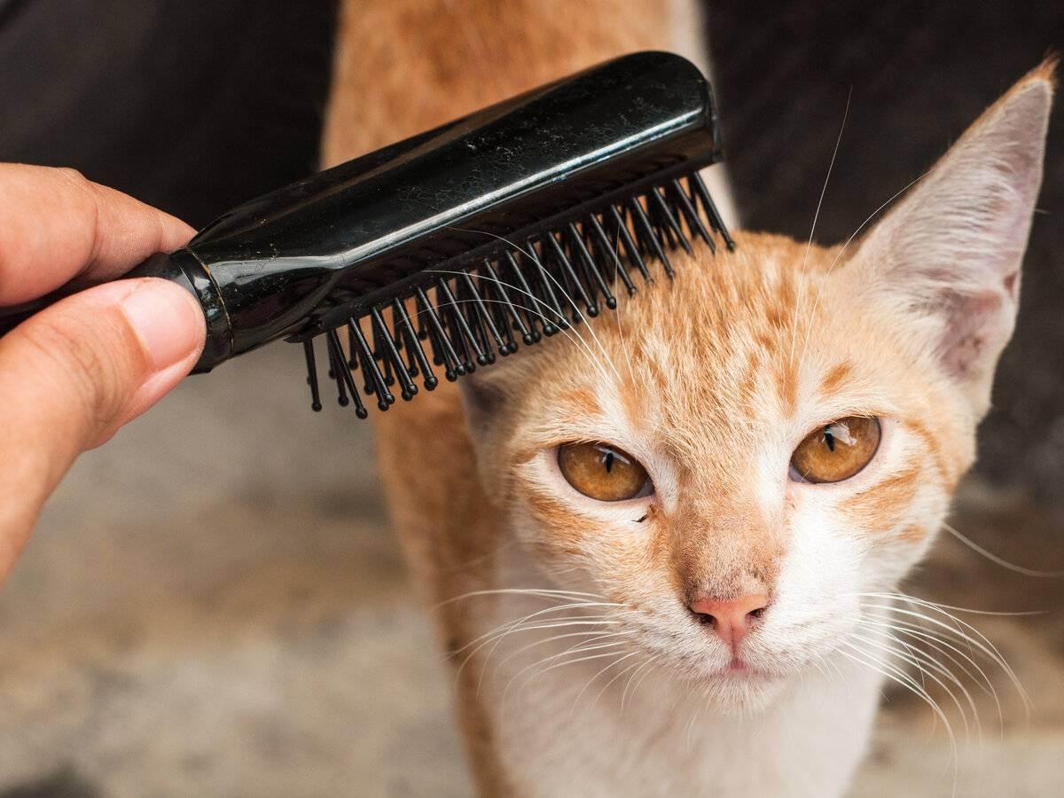 Уход за шерстью кошки: особенности ухода за длинной и короткой