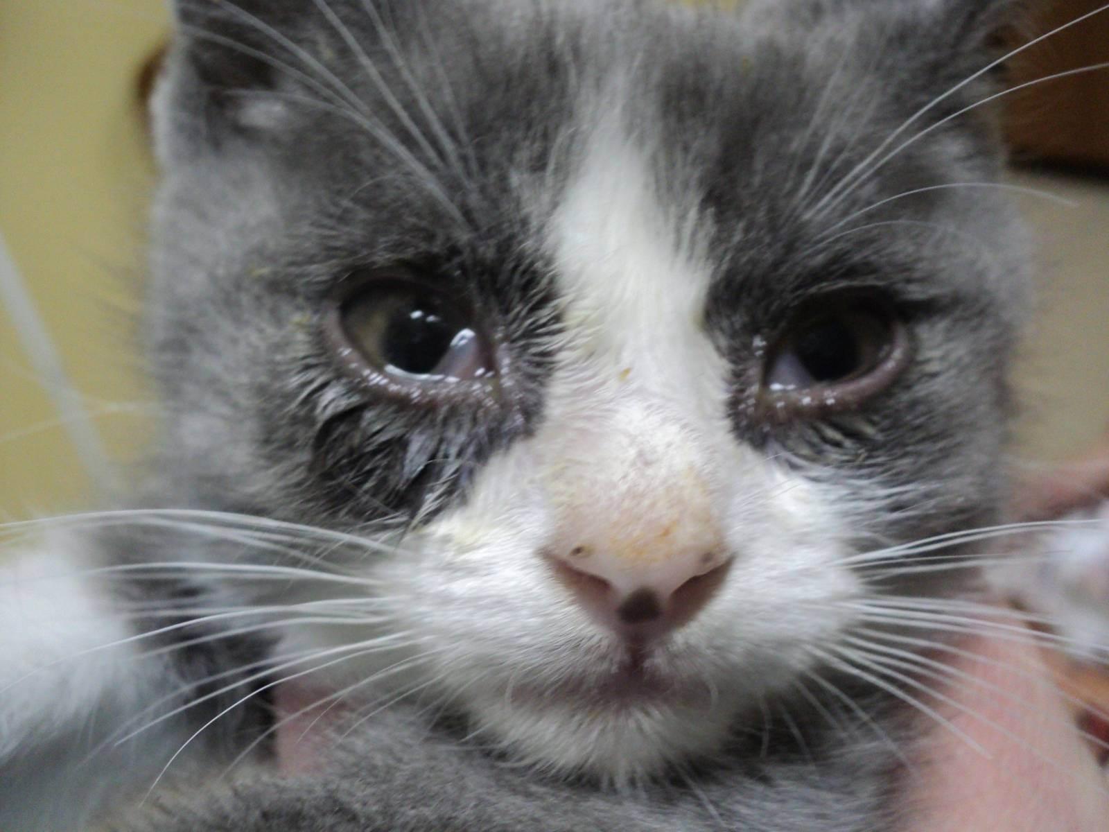 Что делать если у британской кошки слезятся глаза. почему у британской кошки слезятся глаза