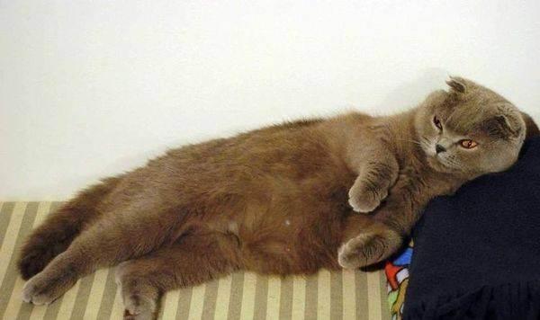 Длительность беременности британской кошки