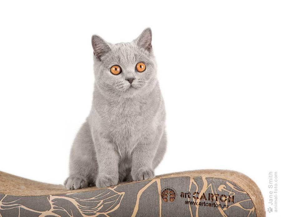 Чем в домашних условиях кормить кошку британской породы?