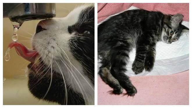 Как вылечить цистит у кошек симптомы и лечение дома