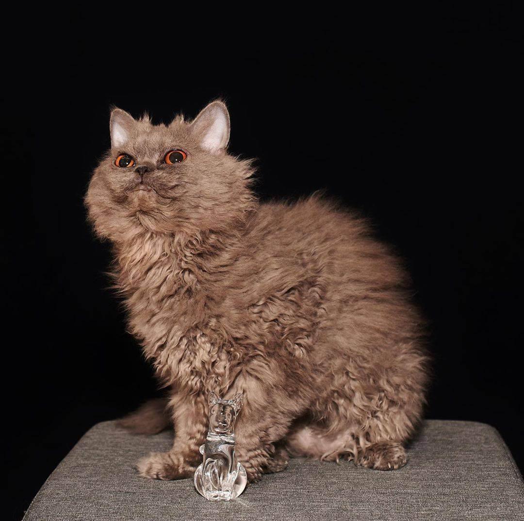 Какие есть кошки с кудрявой шерстью: названия, описание, фото