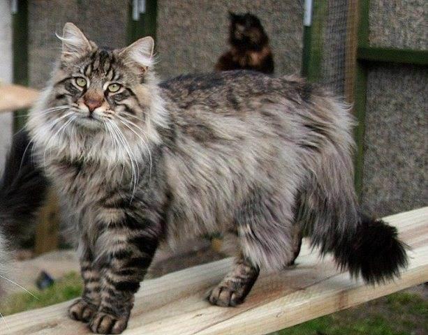 Норвежская лесная кошка - особенности породы, правила ухода