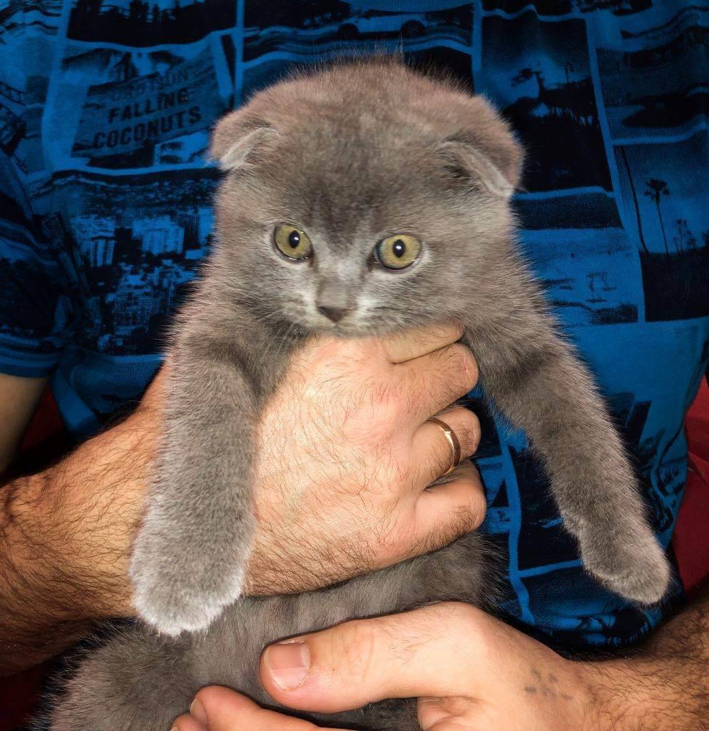 Имена и клички для шотландского котенка мальчика имена и клички для шотландского котенка мальчика