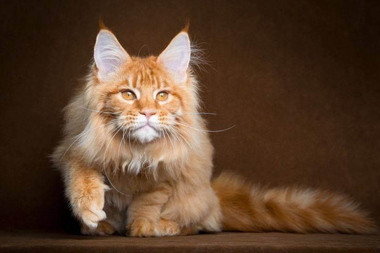 Характер кошки мейн-кун