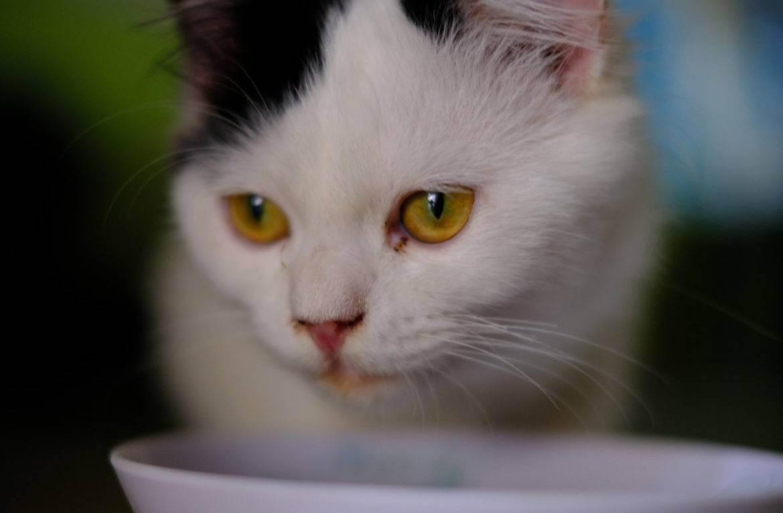 Шерсть британских кошек аллергия
