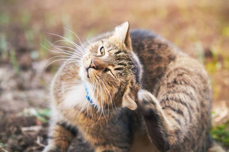 Кошка чешет уши и трясет головой — возможные причины